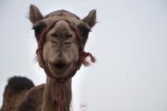الجمل وجه لوجه, تمنراست, الجزائر